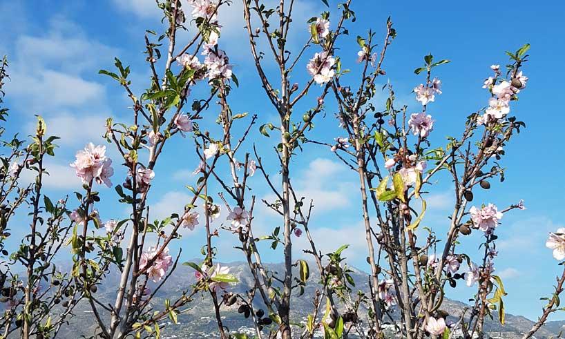 Mandelblom-Våren på G