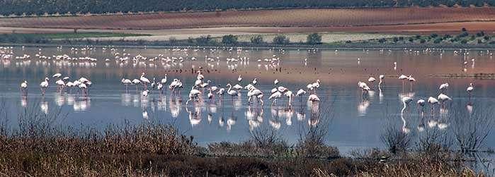 Fuente Piedra, Flamingo